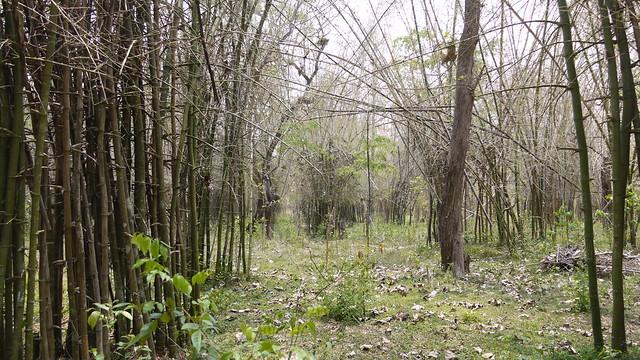 ... bamboo grooves, Nisargadhama