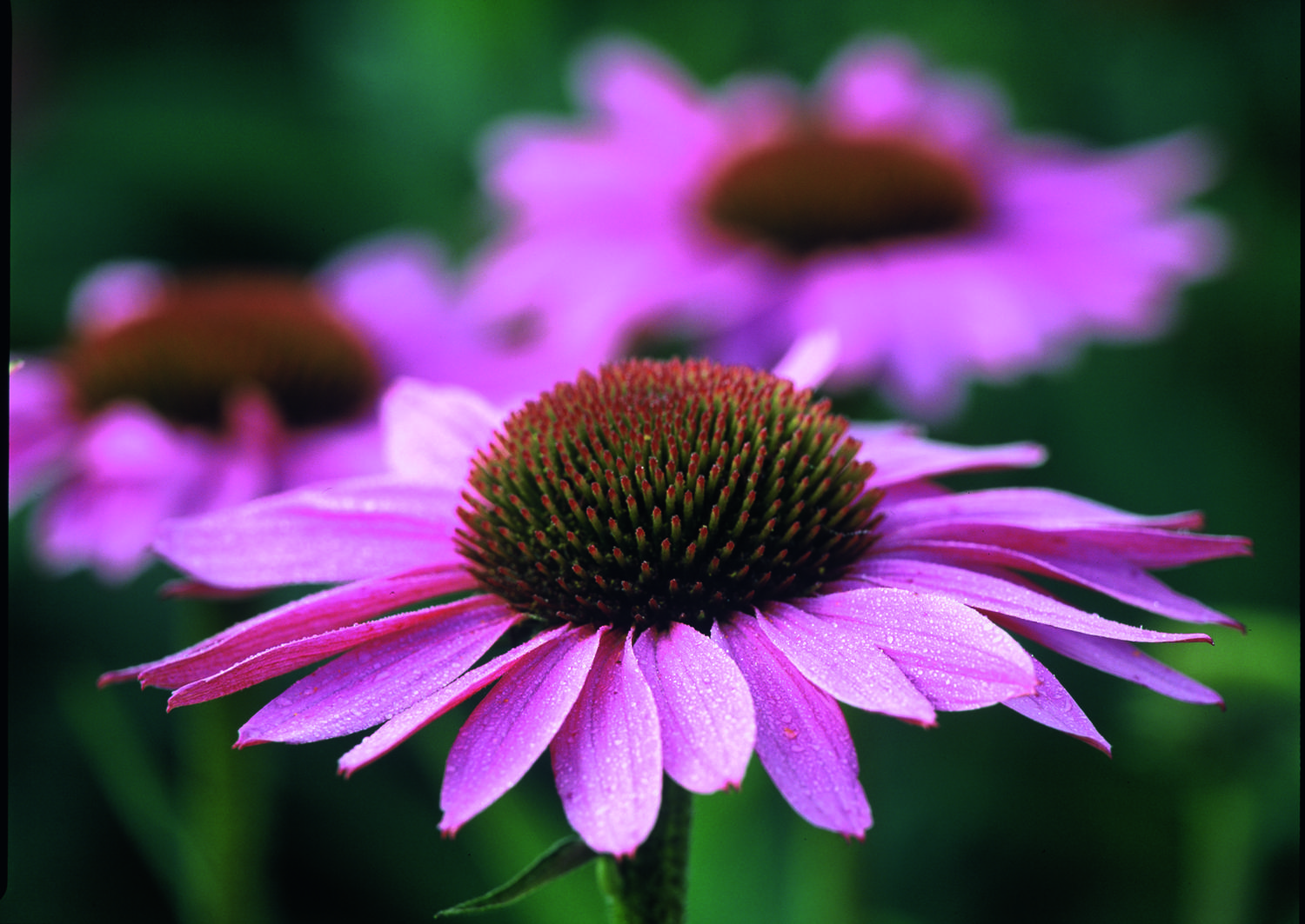 echinacea purpurea roter sonnenhut flickr photo sharing. Black Bedroom Furniture Sets. Home Design Ideas