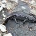 Small photo of Mole Salamander (Ambystoma talpoideum)