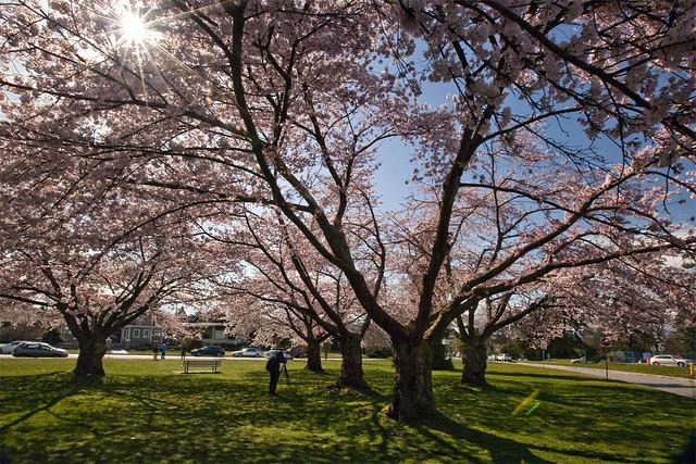 Sakura @ Queen Elizabeth Park