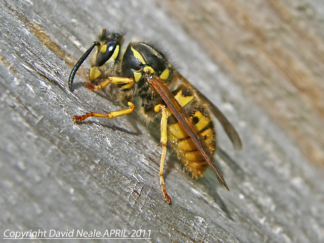 Building Materials - Queen Wasp | Flickr - Photo Sharing!Queen Wasp