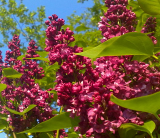 Syringa (Lilac) . In the early  morning sun .