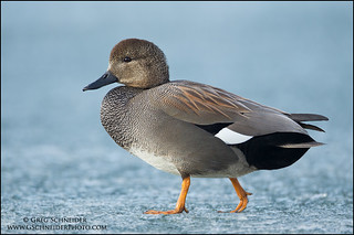 Gadwall drake walking on ice | by Greg Schneider (gschneiderphoto.com)