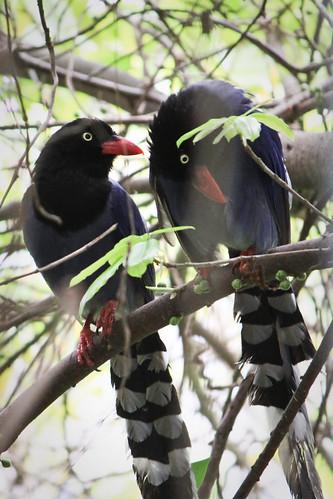 台灣藍鵲(Formosan Blue Magpie)