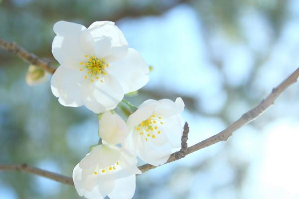 Sakura 29 2011