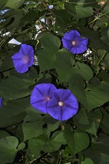 annual plant(1.0), ipomoea violacea(1.0), flower(1.0), purple(1.0), ipomoea alba(1.0), plant(1.0), wildflower(1.0), flora(1.0), petal(1.0),