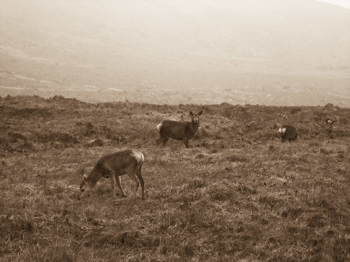 Tame deer above Glen Brittle