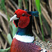 Small photo of Male Pheasant
