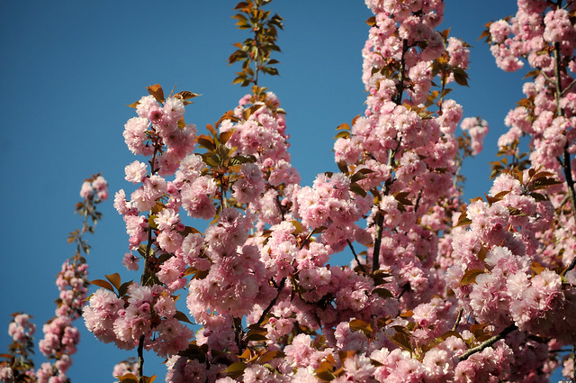 The bloom timing was perfect for Sakura Matsuri. Photo by Mike Ratliff.