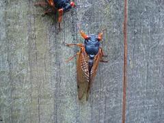 arthropod, animal, cicada, invertebrate, insect, macro photography, fauna,