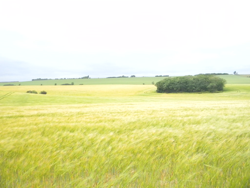 Barley field Deal to Dover