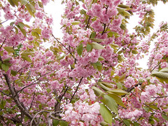 blossom, flower, branch, tree, lilac, cherry blossom, spring,