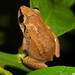 Johnstone's Whistling Frog - Photo (c) Mark Stevens, some rights reserved (CC BY-NC-SA)