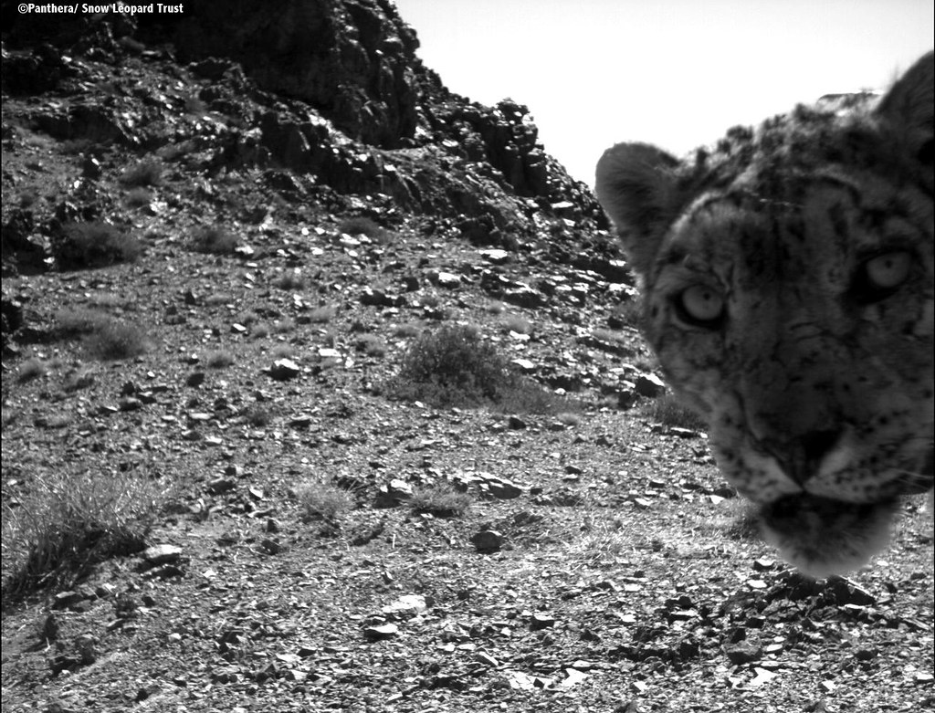 This camera trap photo was taken in Mongolia's Tost Mountain. Panthera is working in Mongolia, in partnership with the Snow Leopard Trust (SLT), on the first ever long-term comprehensive study of the snow leopard.   Learn more about the work of Panthera and SLT in Mongolia at www.panthera.org/species/snow-leopard/mongolia.  Learn more about Panthera's Snow Leopard Program at www.panthera.org/programs/snow-leopard/snow-leopard-program.