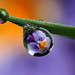 Viola flower dewdrop refraction #3