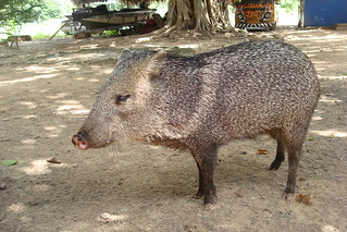 The house pig