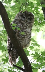 Spotted Owl, Miller Canyon, Arizona