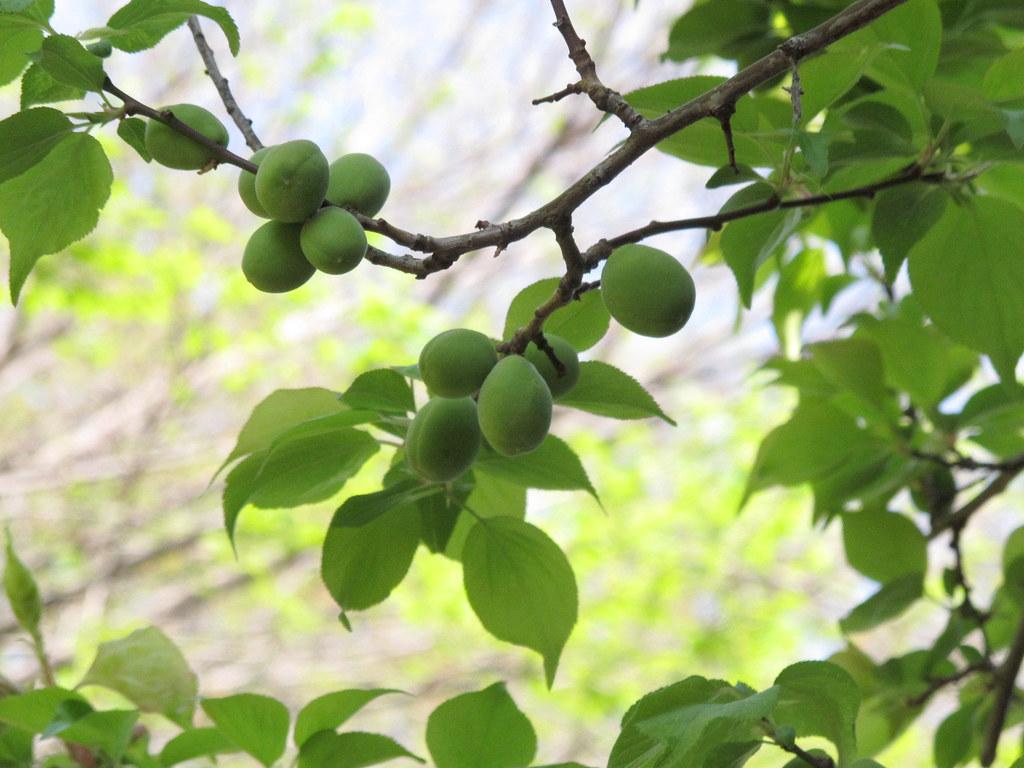Japanese apricot / ume. 梅の実