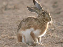 prairie(0.0), animal(1.0), hare(1.0), rabbit(1.0), domestic rabbit(1.0), pet(1.0), fauna(1.0), wood rabbit(1.0), whiskers(1.0), rabits and hares(1.0), wildlife(1.0),
