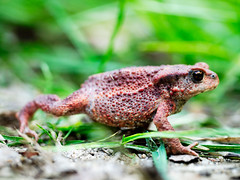 tree frog(0.0), bullfrog(0.0), animal(1.0), amphibian(1.0), toad(1.0), frog(1.0), fauna(1.0), close-up(1.0), ranidae(1.0), wildlife(1.0),