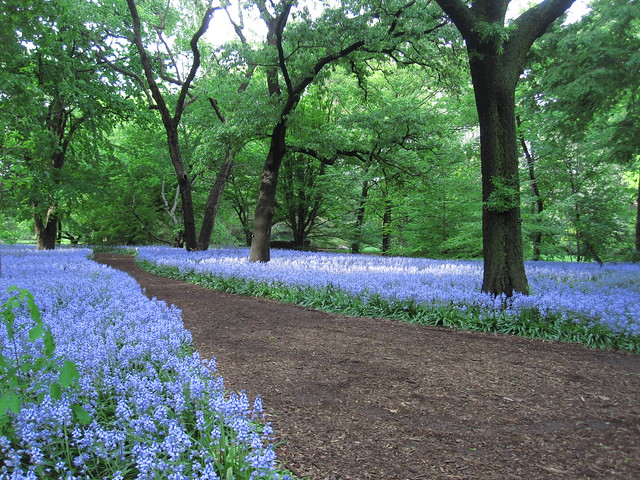 Bluebell Wood in bloom. Photo by Rebecca Bullene.