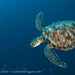 Green Turtle - Bunaken