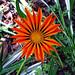 Pinwheel Gaillardia by John Dreyer