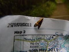 Longhorn Moth - Nemophora degeerella