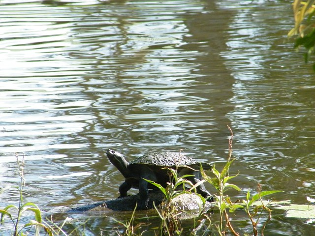 Basking Turtle Rock Flickr - Photo Sharing!