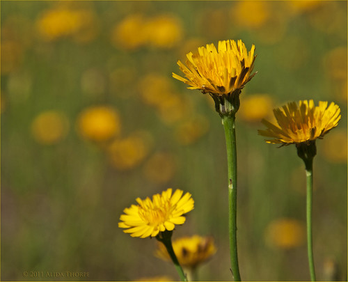 dandelions by Alida's Photos