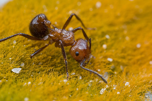 Myrmicaria sp. ant...IMG_0037 copy