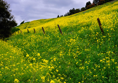 Mustard seed blossoms in spring
