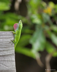 Green Anole Lizards (3)