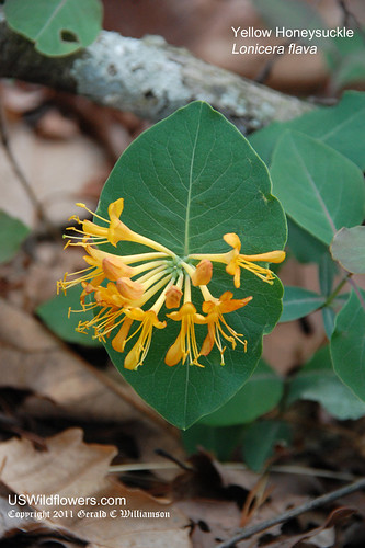 Yellow Honeysuckle, Pale Yellow Honeysuckle - Lonicera flava