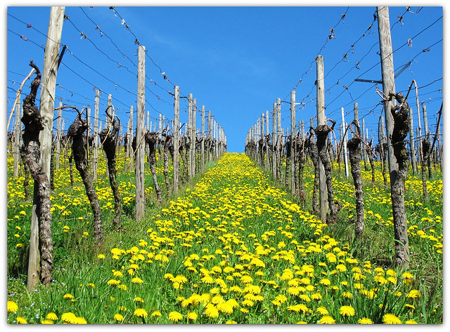 Dandelion in the Vineyard