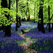 Ashridge Park, Hertfordshire, UK | National Trust Woodlands carpeted with English Bluebells in Spring (3 of 5)