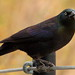 Common Grackle at Zoo