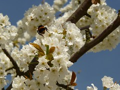 HolderSpring Blossom and bee
