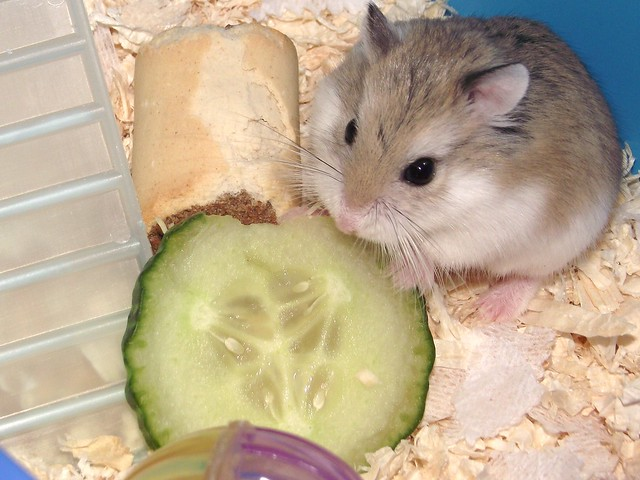 Peanut munching on some cucumber
