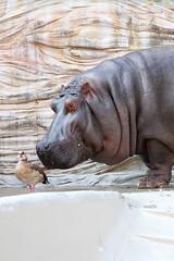 Hippopotamus - 11