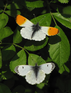 Orange tip, male & female