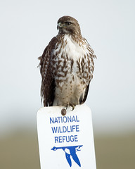 Red-tailed hawk perched on a William L. Finley National Wildlife Refuge boundary sign. Photo credit: George Gentry/USFWS