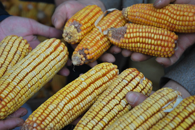 how to produce hybrid maize
