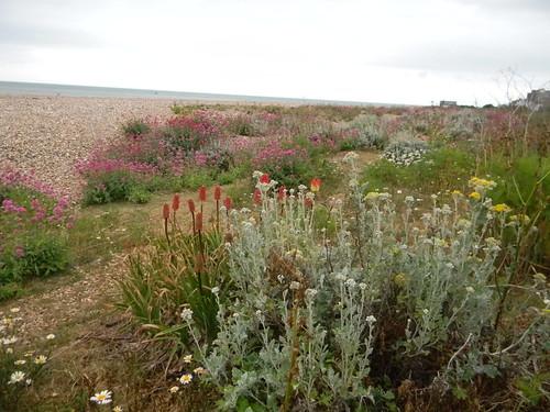Silver ragwort, redhot poker and valerian