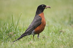 animal, robin, prairie, fauna, common myna, beak, bird, wildlife,