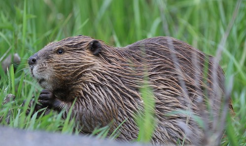 (Not so) Angry beaver