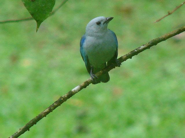 blue-grey-tanager