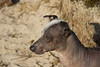Naqui - Peruvian Hairless Dog by David d'O
