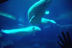 common bottlenose dolphin(0.0), killer whale(0.0), animal(1.0), marine mammal(1.0), whale(1.0), marine biology(1.0), beluga whale(1.0),