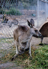 white-tailed deer(0.0), wildlife(0.0), wallaby(1.0), animal(1.0), zoo(1.0), marsupial(1.0), mammal(1.0), kangaroo(1.0), fauna(1.0),
